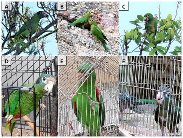 Parrot species.
