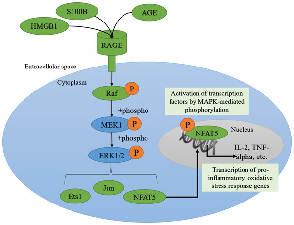 AGE-RAGE signaling can activate ERK1/2 signaling and downstream pro-inflammatory transcription factors.