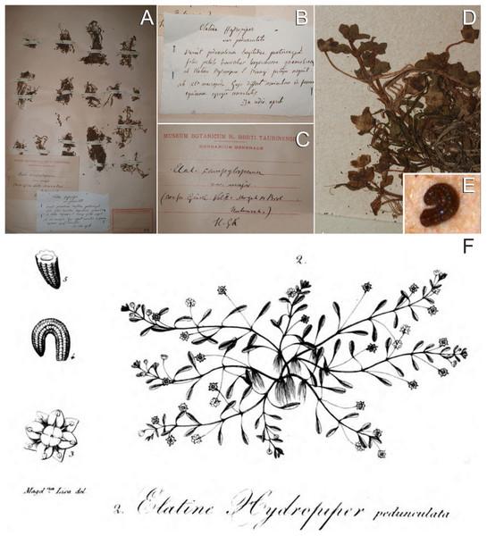 Original material of E. campylosperma.