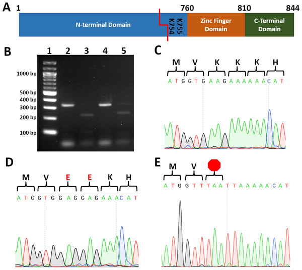 Introduction of restriction sites enable efficient screening for correct point mutants.