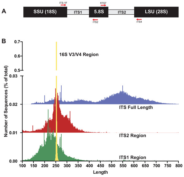 The fungal internal transcribed spacer (ITS) region of the rRNA array is highly variable in length.
