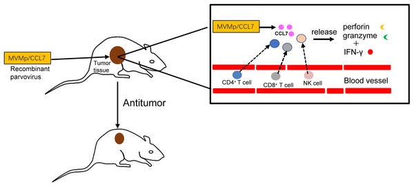 Antitumor effects of CCL7.