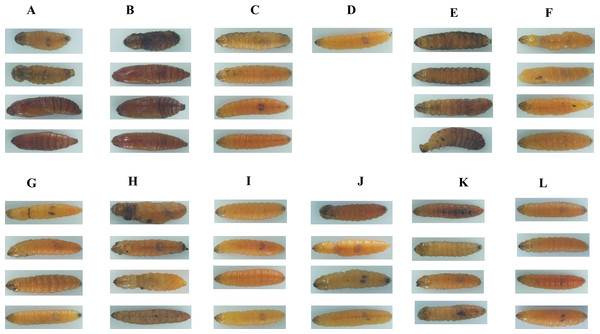 Images of soybean pod borer larvae fed an artificial diet supplemented separately with dsRNA (10 µg/g) for 11 candidate RNA interference target genes for 15 d.