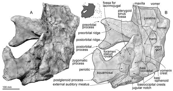 Skull of AMP 35, Taikicetus inouei in ventral view.