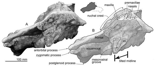 Skull of AMP 35, Taikicetus inouei in anterior view.