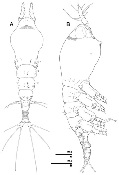 Monstrillopsis longilobata Lee, Kim & Chang, 2016, female.