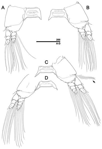 Monstrillopsis longilobata Lee, Kim & Chang, 2016, female, swimming legs with intercoxal sclerites.