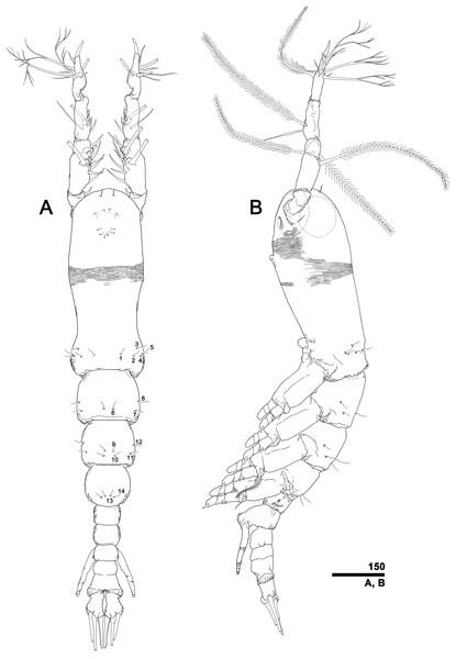 Monstrillopsis longilobata Lee, Kim & Chang, 2016, male.