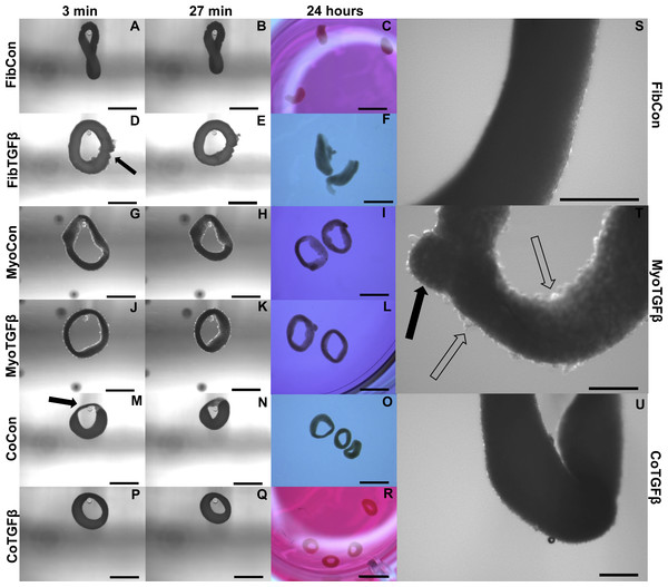 Zero force shortening of self-assembled tissues and their surface characteristics.