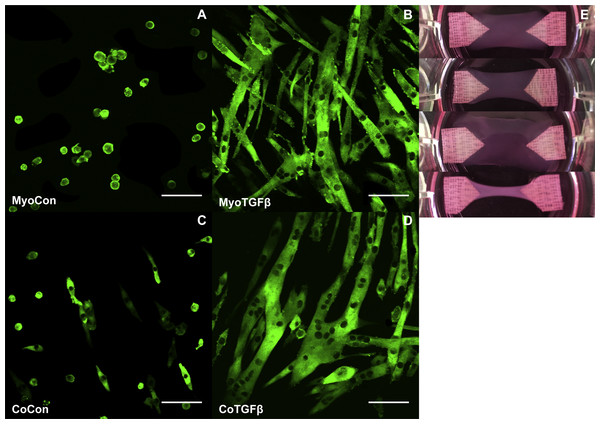 Histology of mono- and co-cultures in collagen 1-based hydrogels.
