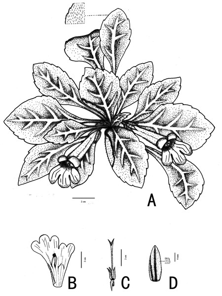 Illustration of Primulina hiemalis sp. nov.
