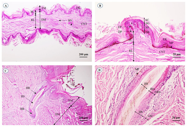 Light microscopymicrographs at different magnifications of the aural skin (A, B) and hair follicle (C, D).