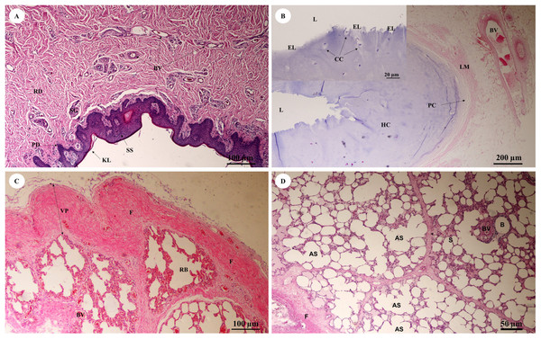 Low and high magnification of histological sections of the trunk (inner) (A), trachea (lower part) (B), pleura and intralung septa (C, D).