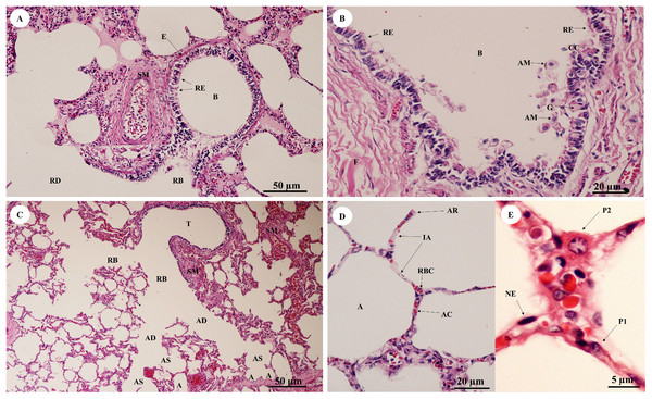 Low and high magnification of histological sections of bronchioles (A, B), respiratory tract (C), alveolar lining (D) and pneumocytes (E).