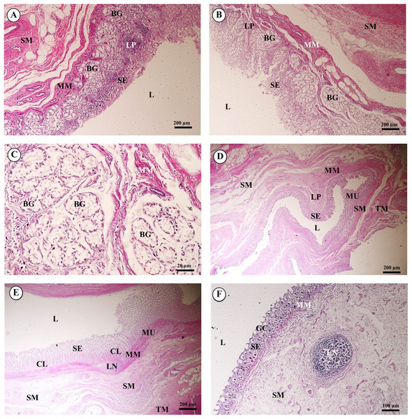 Light microscopy micrographs at different magnifications ofthe small intestine (duodenum, jejunum, ileum) (A–C) and large intestine (cecum, colon, rectum) (D–F).