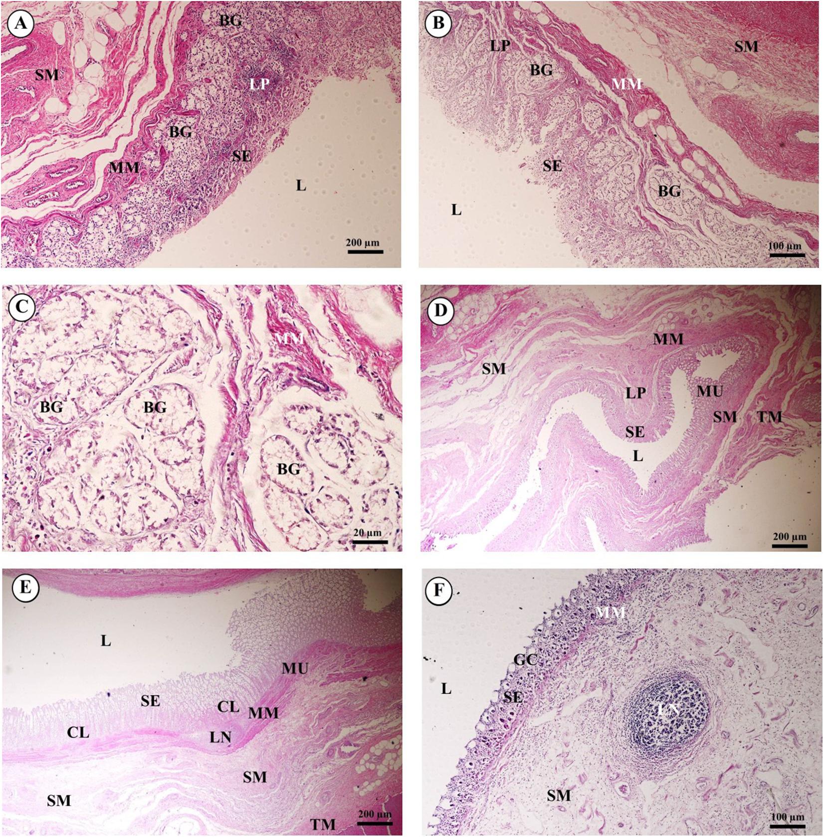 Histology of 24 organs from Asian elephant calves (Elephas