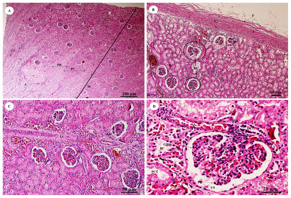 Low and high magnification of histological sections of the renal cortex and medulla and renal capsule (A, B), renal vessels (C) and glomerulus complex (D).