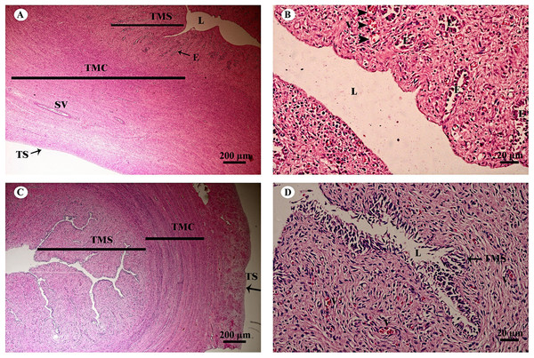 Low and high magnification of histological sections of the juvenile reproductively inactive uterine horn (A, B) and uterus (C, D).