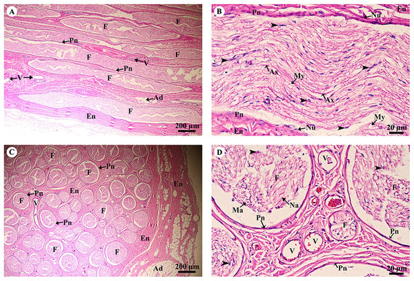 Light microscopy micrographs at different magnifications of the sciatic nerve, longitudinal section (A, B) and cross section (C, D).