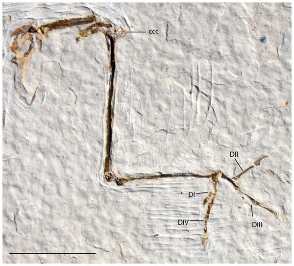 UWGM 21421, Zygodactylidae gen. et sp. indet.