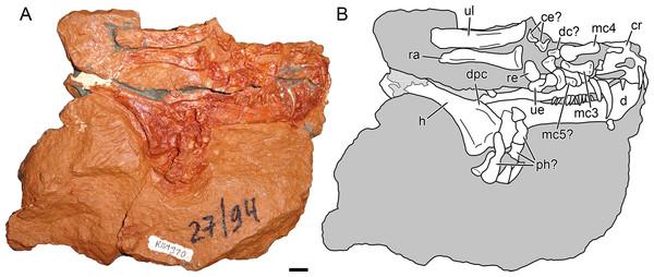 Holotype block of Nochnitsa geminidens (KPM 310).