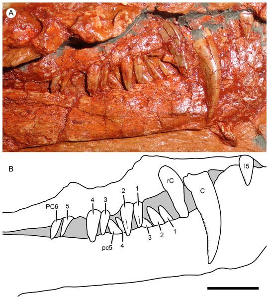 Right marginal dentition of Nochnitsa geminidens.
