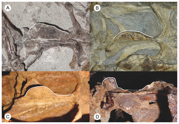 Photographs of the basicranial girder in Russian and African gorgonopsians.