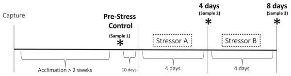 Experimental design of the chronic stress protocol.