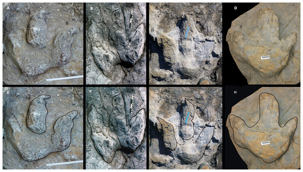 Asturian Jurassic footprints with a weak mesaxony and probably related to very large or giant megalosaurid theropod trackmakers (Morphotype A).