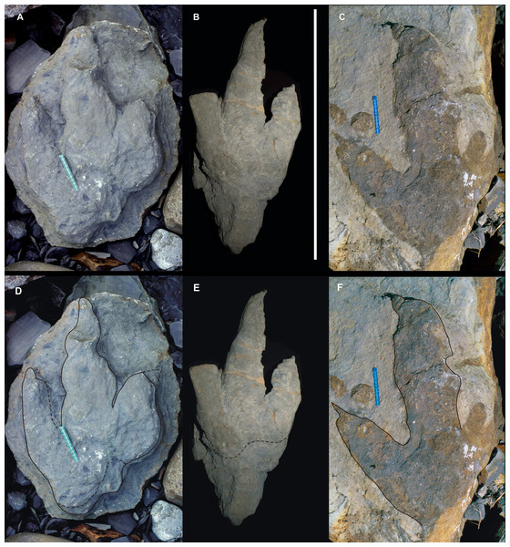 Giant Asturian Jurassic footprints, strongly mesaxonic (Morphotype B).