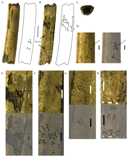 Partial tibia shaft with crocodyliform feeding marks and invertebrate traces.