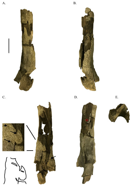 Distal ornithomimosaur femur with shark feeding scores.