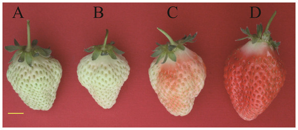 "Tissues of strawberry ""Toyonoka"" used in deep sequencing."