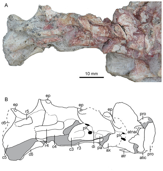 Cervical vertebrae of PMOL-AD00102.