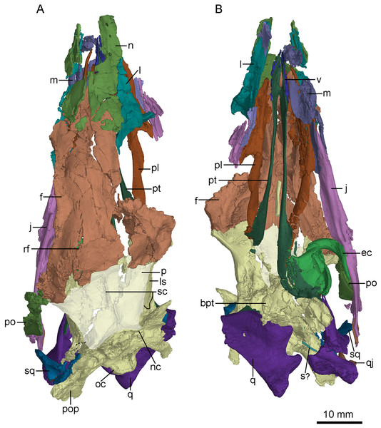 CT-rendered skull of PMOL-AD00102 in dorsal (A) and ventral (B) views.
