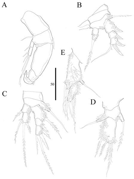 Vostoklaophonte eupenta gen. & sp. nov. (♀).