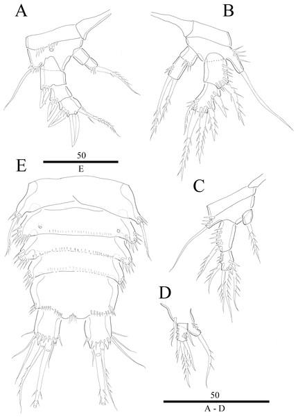 Vostoklaophonte eupenta gen. & sp. nov. (♂).