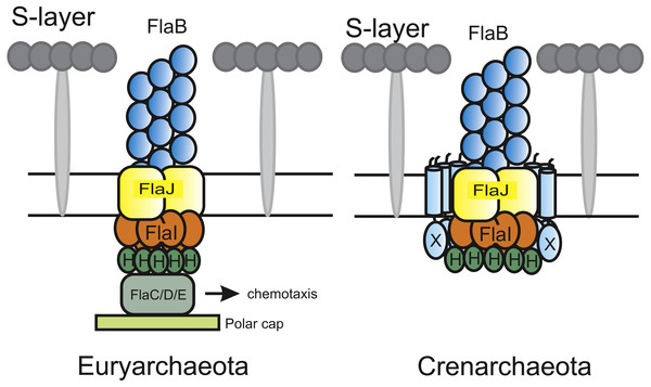 Current models of the euryarchaeal and crenarchaeal archaellum motor complex.