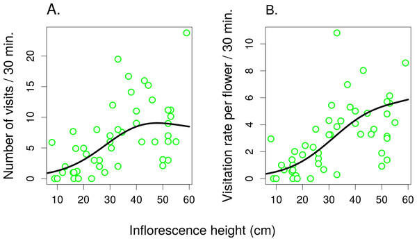 The effect of inflorescence height on visitation of Salvia verticillata.