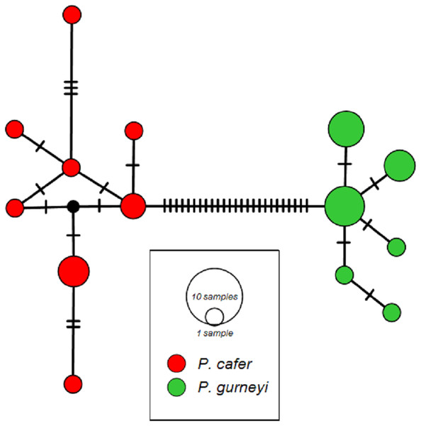 ND2 haplotype networks for Cape and Gurney's Sugarbirds.