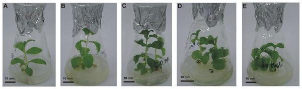 Effects of MEL on stevia shoots' development.