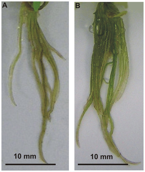 Effects of MEL on stevia roots' development.