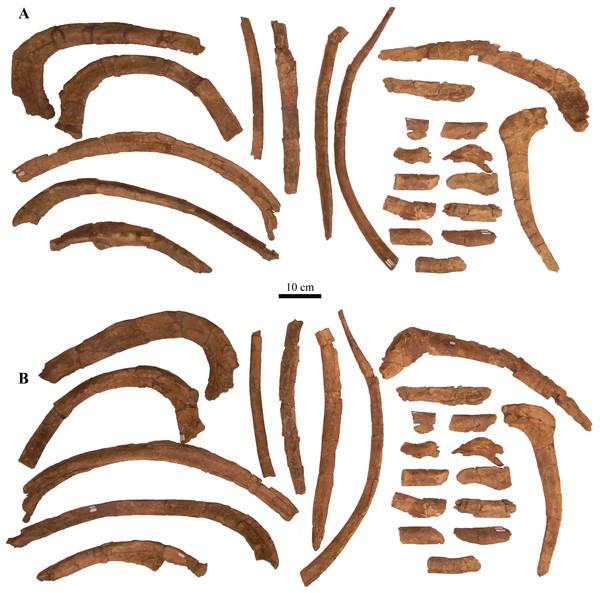 Ribs and rib fragments.