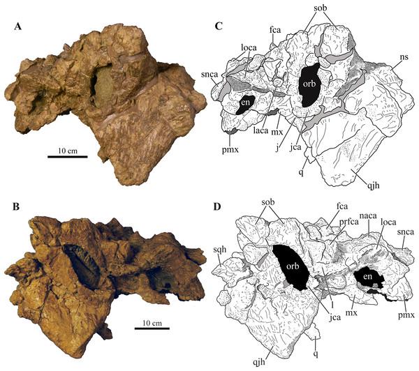 Skull of Akainacephalus johnsoni (UMNH VP 20202).