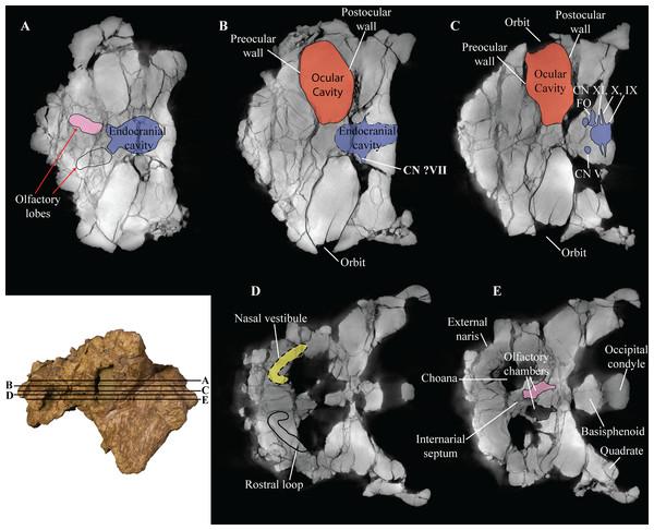 Computed tomography (CT) scans of Akainacephalus johnsoni (UMNH VP 20202).