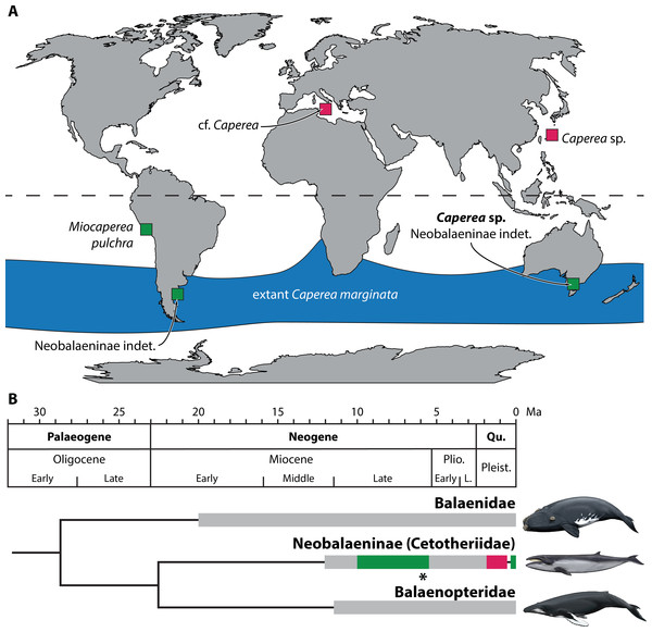 Global occurrence and age of neobalaenine fossils.