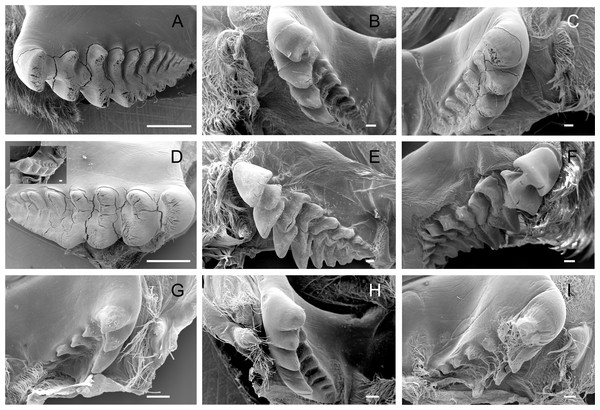 Scanning electron micrographs of the lateral teeth of Dilocarcininae (A–F) and Trichodactylinae (G–I) species.