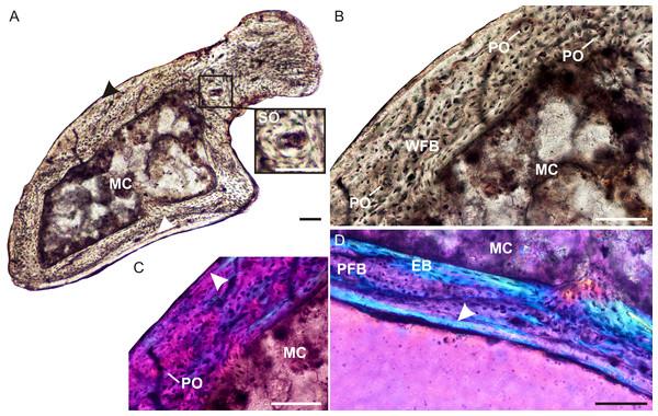 Ulna osteohistology of Brasilodon quadrangularis UFRGS-PV-765-T.