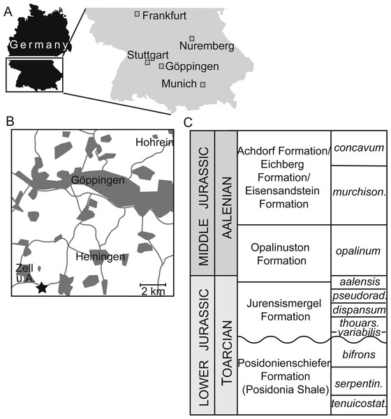 Occurrence information for specimens of Dapedium from the Opalinuston Formation.