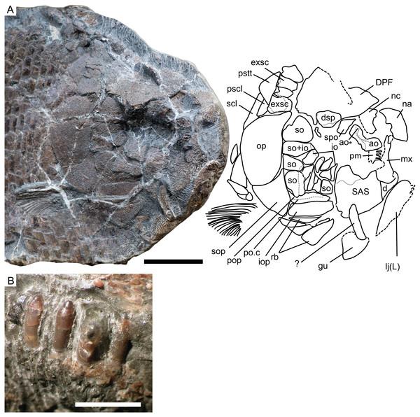 Cranial morphology of Dapedium ballei sp. nov. (SMNS 96990).